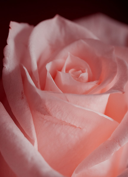 Pink Rose-3571