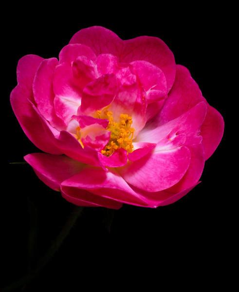 Rose-4883