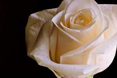 White Rose-3590