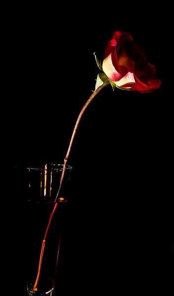 Rose-2041