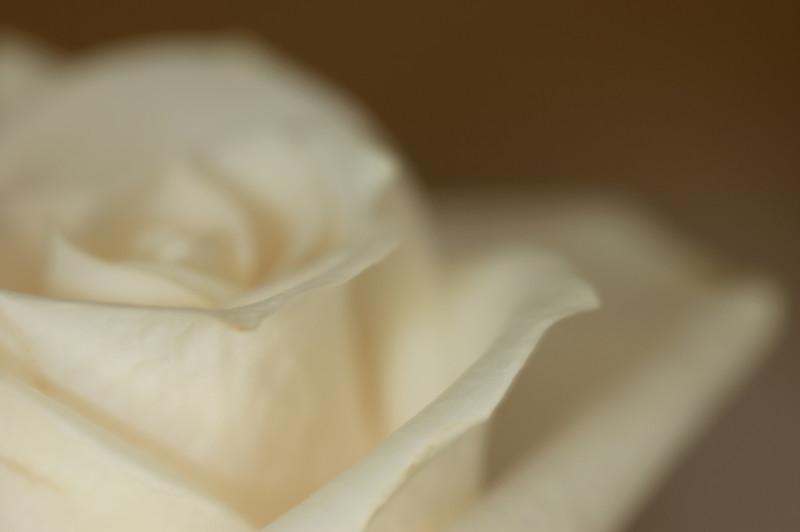 white rose-3652