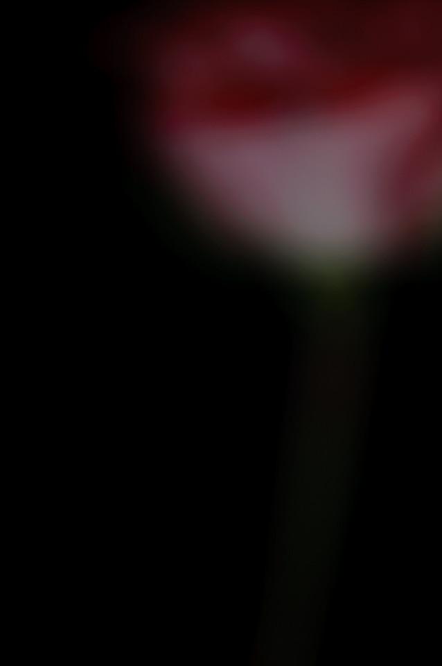 Rose no 1-3753