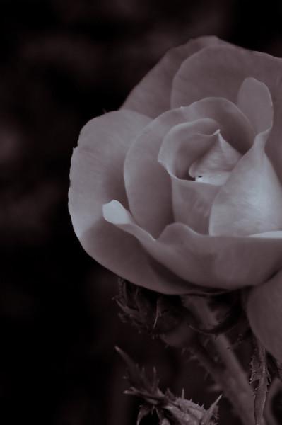 Rose-4458