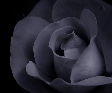 Rose-4459