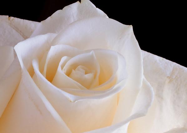 White Rose-3588