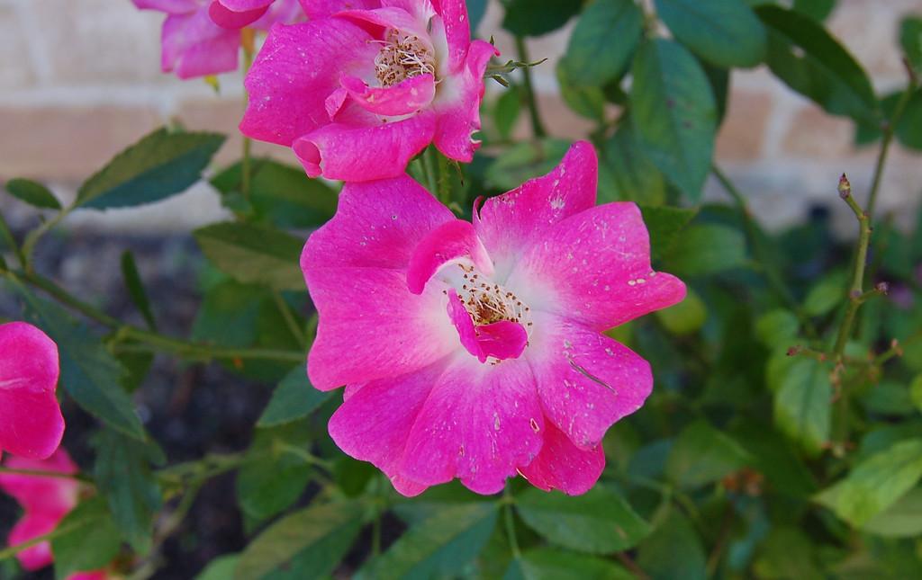 winter's pink rose