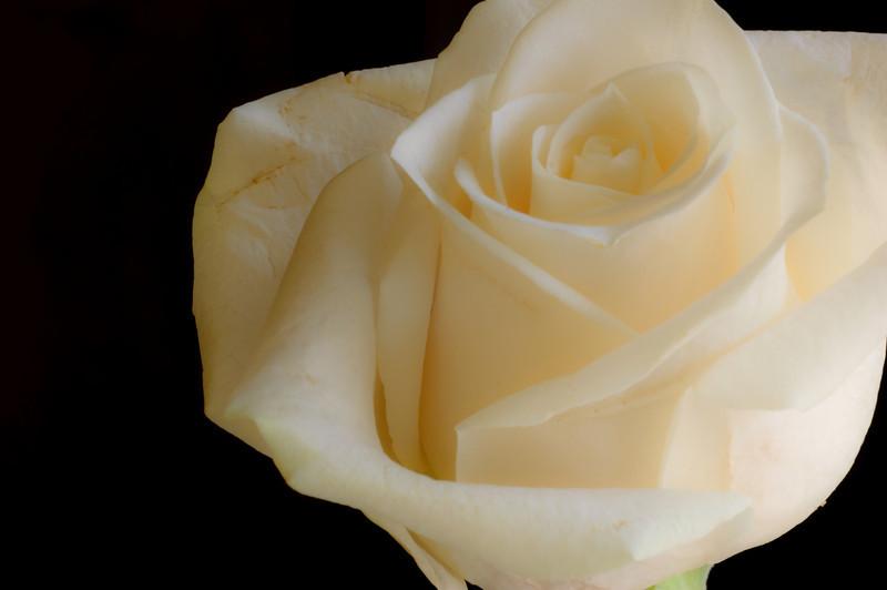 White Rose-3591