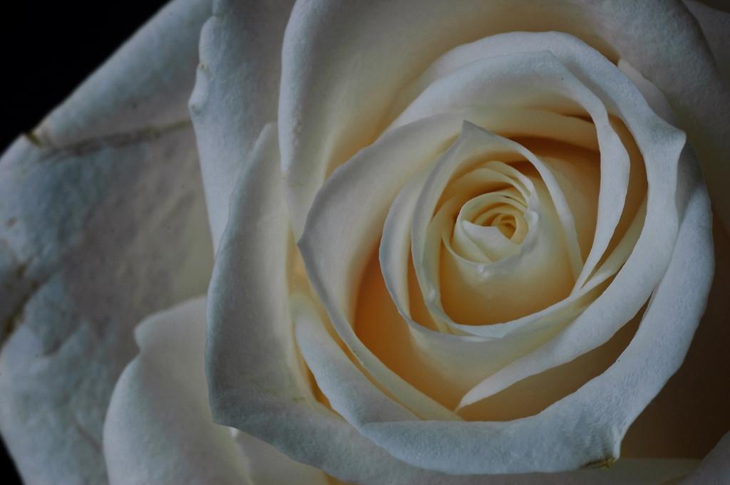 white rose-3645