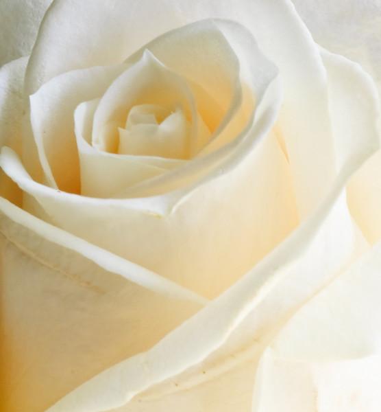 White Rose-3594