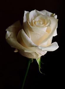 White Rose-3569