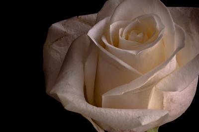 White Rose-3593