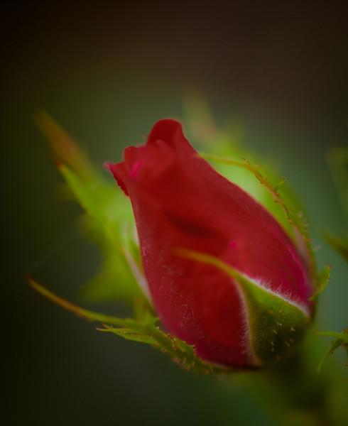 Rose-4462
