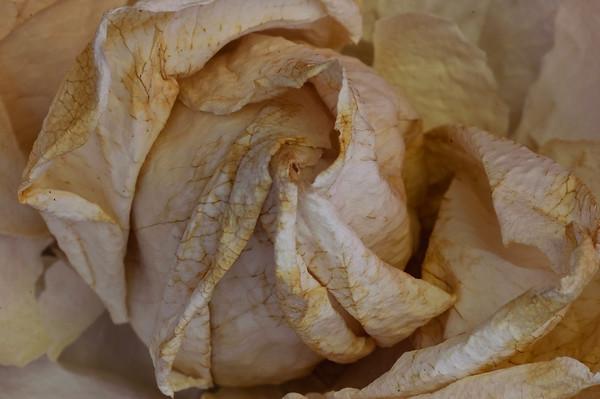 Rose-4150
