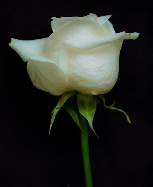 white rose-3636
