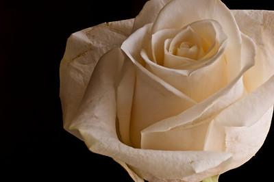 White Rose-3589