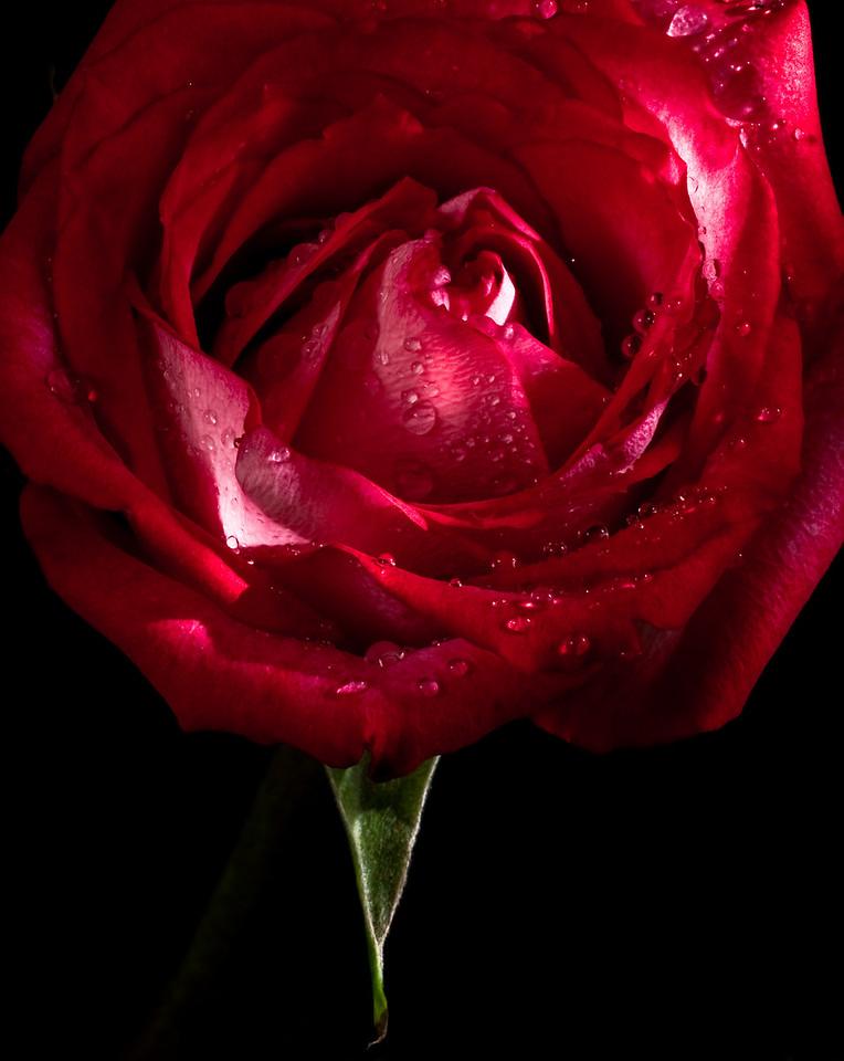 Rose no 1-3765