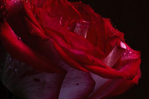 Rose no 1-3672