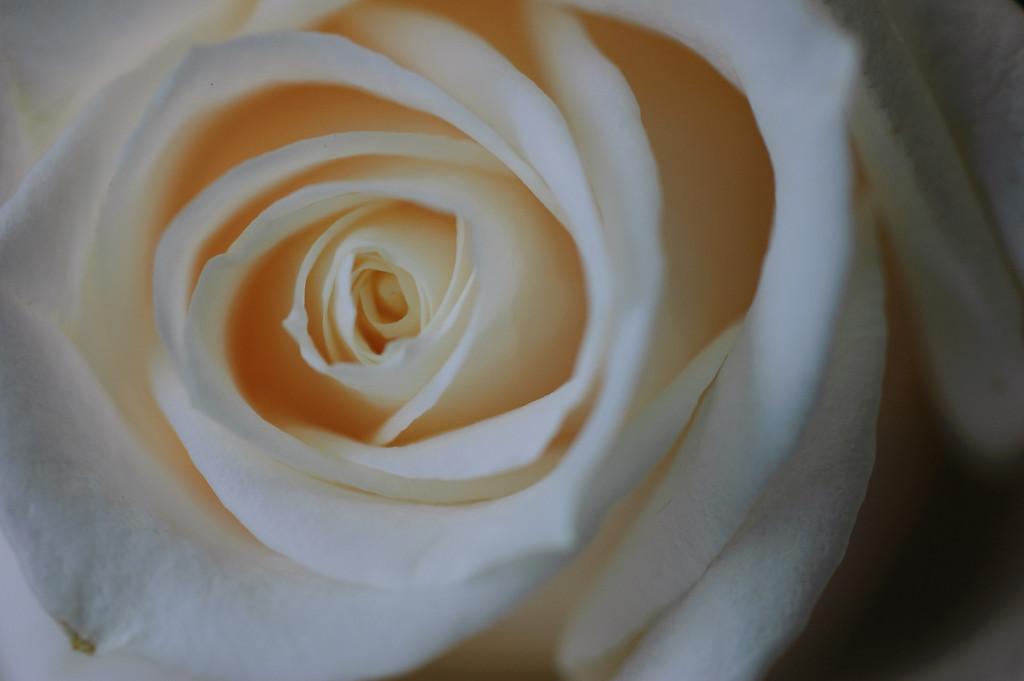 white rose-3640