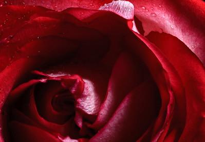 Rose no 1-3682