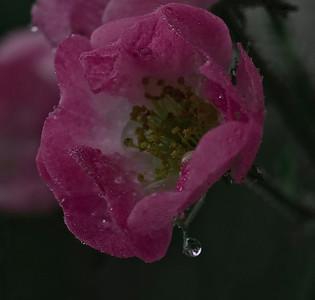 rose tear-8125