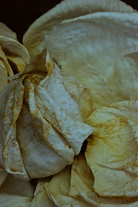 Rose-4158
