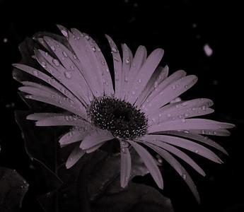 Gerbera Daisy-0244