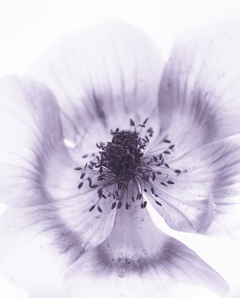 anemone-5965