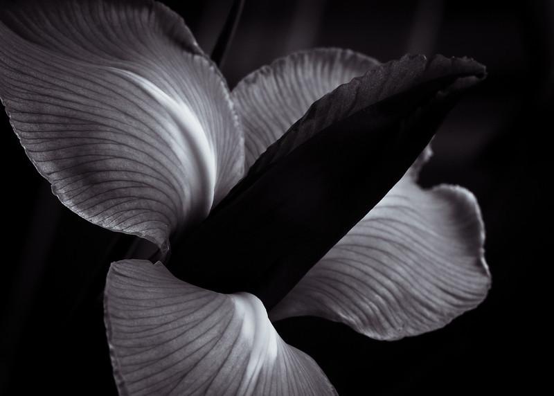 Iris-6863