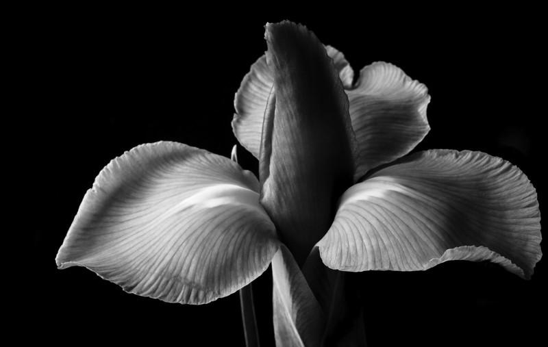 Iris-6901