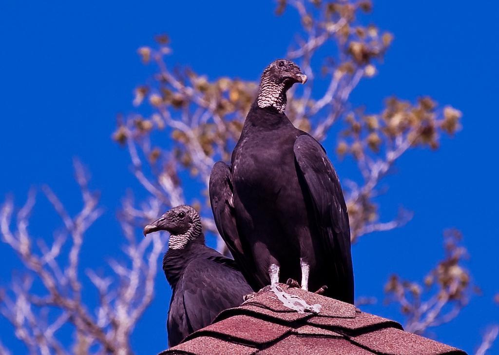 Turkey Vulture-1119