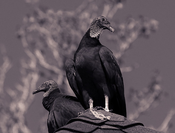 Turkey Vulture-1111