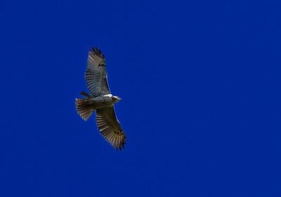 hawk-1609
