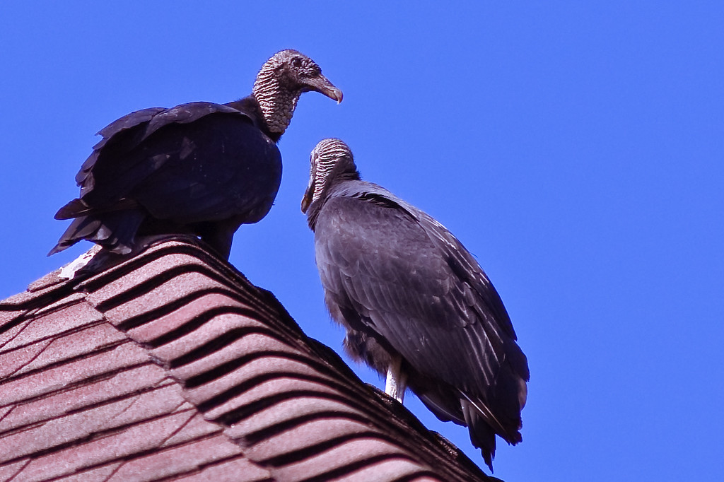 Turkey Vulture-1124