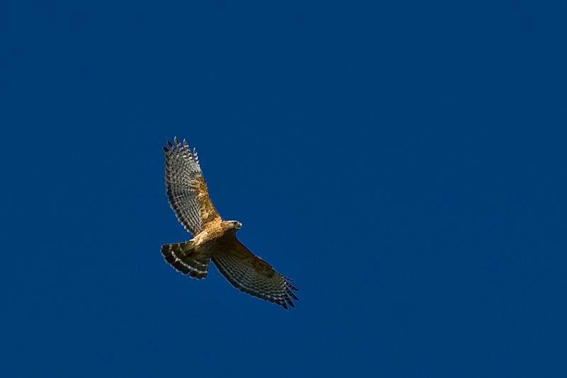 Zone-tailed Hawk-2987