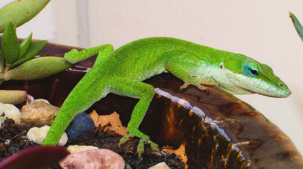 Anole-