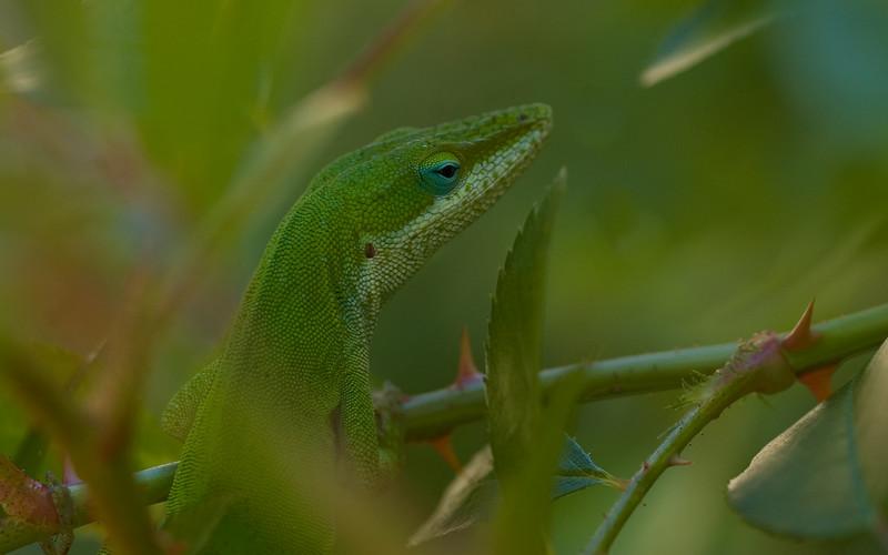 Lizard in the rose bush (2 of 2)
