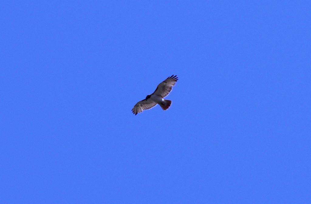 wimbledon vulture 1