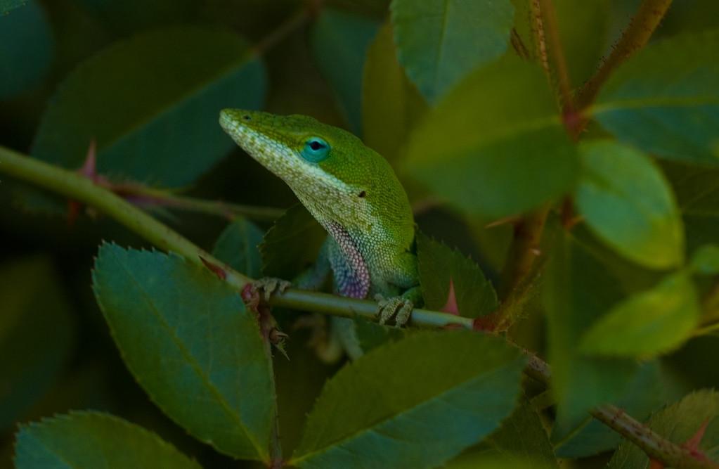 Lizard in the rose bush (1 of 2)