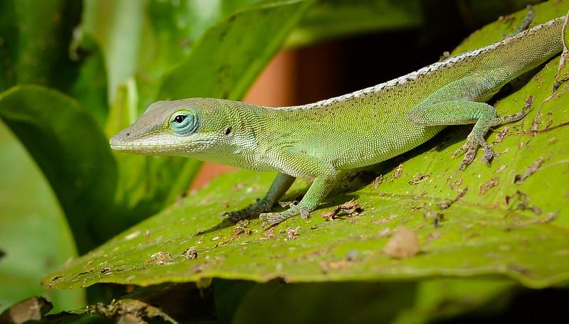 Gecko-0483