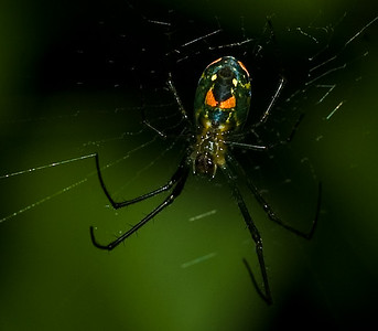 Orchard Spider, an orb web spider