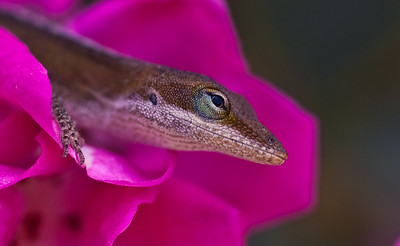 Lizard in the Rose-1755