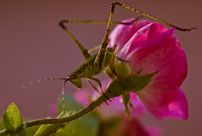 Grasshopper on rose-9941