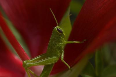 Grasshopper-8133