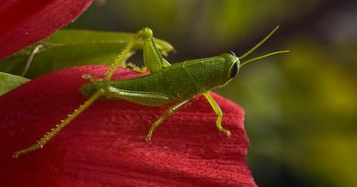 grasshopper-8142