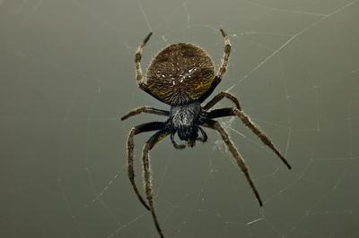 Garden Orb Spider-9040