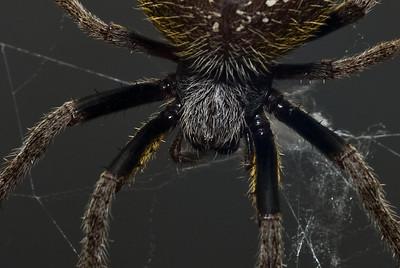 Garden Orb Spider-9038