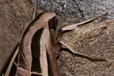 Sphinx moth-0460