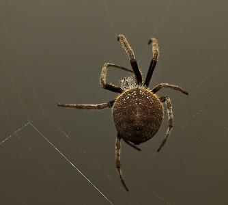 Garden Orb Spider-9014