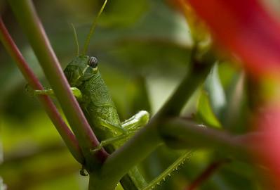 grasshopper-8166