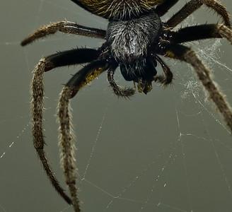 Garden Orb Spider-9040-2